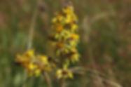 Ligularia sibirica_DESCHEEMACKER_A_CBNMC