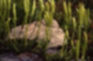 Lycopodium clavatum 5 8 92 B. Belin 324d