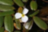 Fluteau nageant, Atlas de la biodiversité Est Cantal