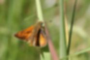 Hespérides orangées, P.Peyrache, Atlas de la biodiversité Est Cantal