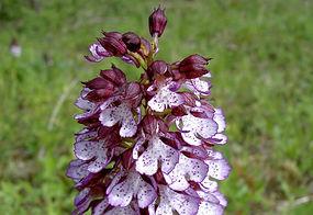 Orchis pourpre, Atlas de la biodiversité Est Cantal