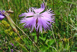 Dianthus hyssopifolius Chamaroux 63d.JPG