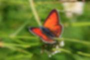 Lycènes orangés, P.Peyrache, Atlas de la biodiversité Est Cantal
