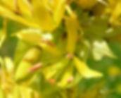 Fleur de Gentiane jaune, Atlas de la biodiversité Est Cantal