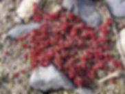 Orpin blanc - Emilie DUPUY - Atlas de la Biodiversité de l'Est Cantal