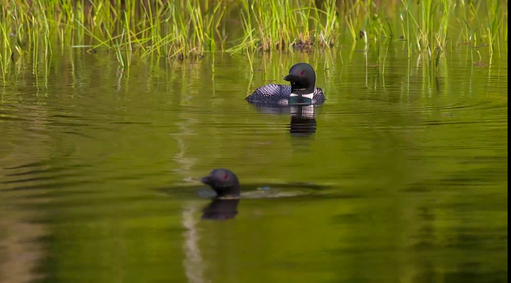 Ducks in water.png