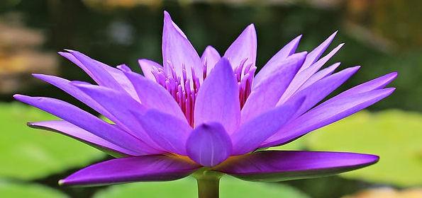 water-lily-nuphar-lutea-aquatic-plant-bl