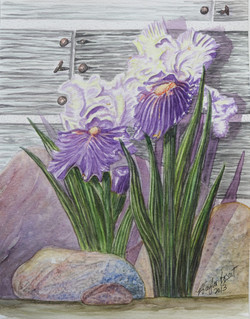 Two Tone Irises By The Barn