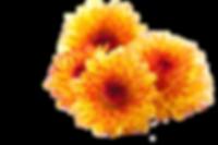 Chrysanthemum-PNG-Photos.png