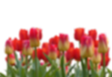 tulips-2903726_960_720.png