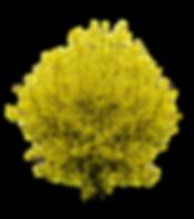 forsythia-1320320_960_720.png