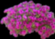 Download-Petunia-PNG-Free-Download.png