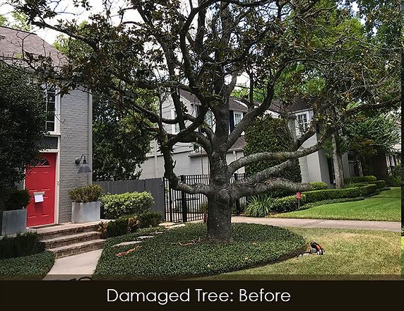 magnolia tree removal_before.jpg