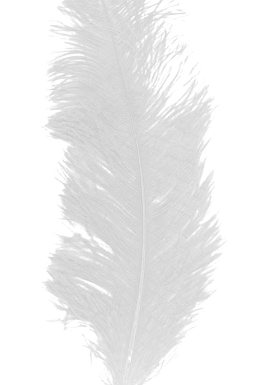 Location grandes plumes d'autruche blanches