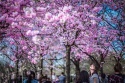 Berlin_Gärten_Der_Welt_Sakura_Festival