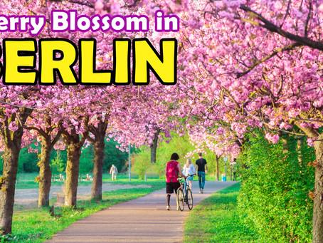 Cherry Blossom in Berlin (Sakura)