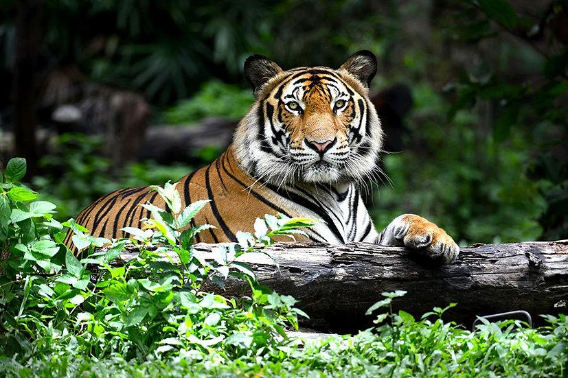 Dokulu Bengal Kaplanı Duvar Kağıdı | 3D Vahşi Kaplan Duvar Kağıtları