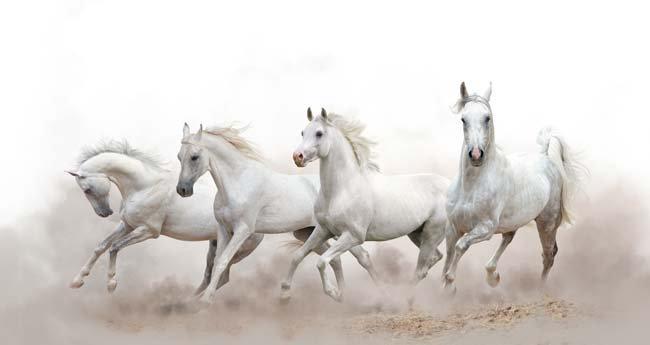 3 Boyutlu Beyaz Atlar Duvar Kağıdı | Beyaz Atlar Duvar Kağıdı