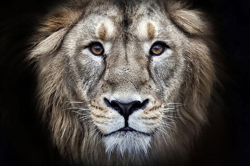 Lion HD Duvar Kağıtları | 3 Boyutlu Aslan Duvar Kağıtları | Galatasaray