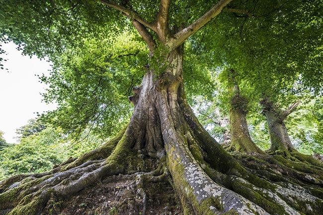 3D Geniş Gövdeli Yaşlı Ağaç Duvar Kağıtları | Doğa Ormanı Duvar Kağıtları