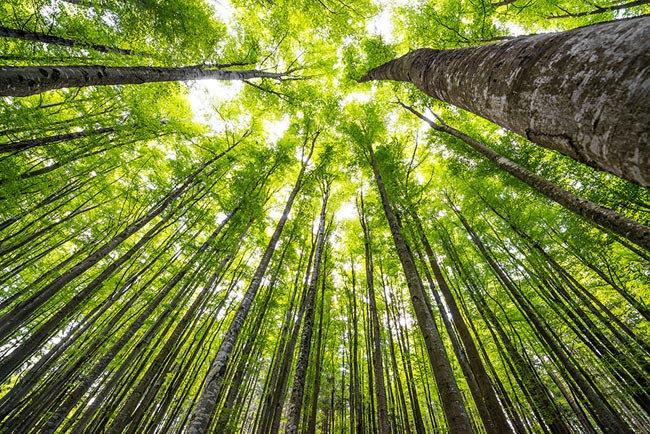 3D Yeşil Orman Ağaçları Duvar Kağıtları | Kavak Ağaçları Duvar Kağıtları