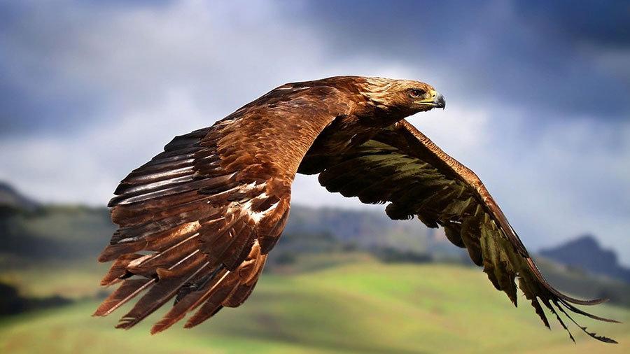 Yırtıcı Kuş HD Duvar Kağıtları | 3D Şahin Wallpeaper Duvar Kağıtları