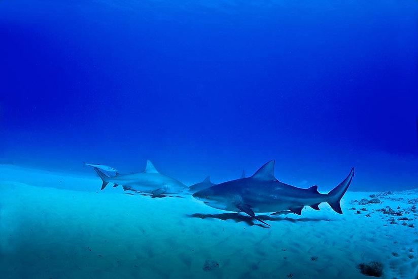 Full HD Köpek Balıkları Duvar Kağıtları | 3d Deniz Altı Duvar Kağıtları