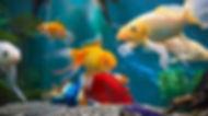 akvarypum-balıklar-duvar-kağıdı.jpg