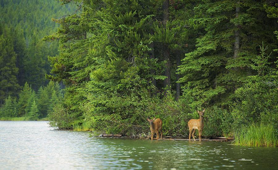 Karaca Orman Göl 3 Boyutlu Duvar Kağıtları