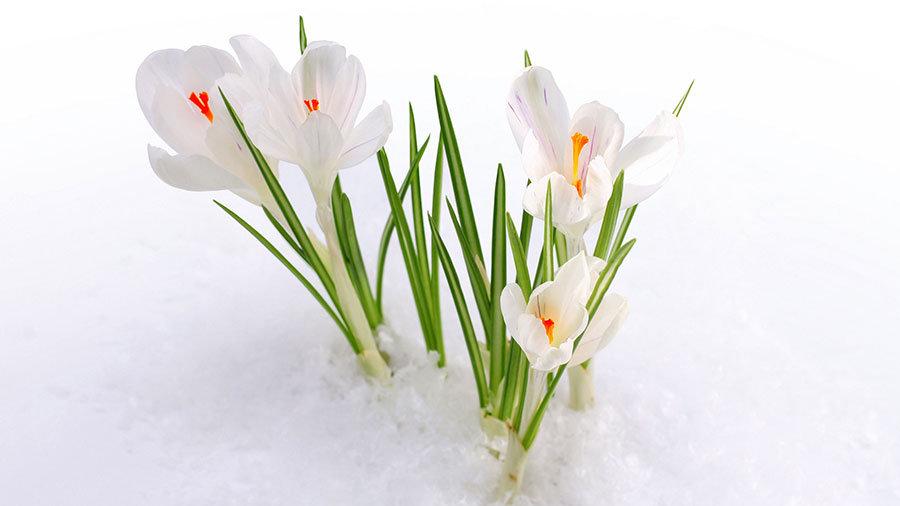 Karlı Çiğdem Çiçekleri Duvar Kağıdı Posteri | Çiçek Manzara Duvar Kağıdı