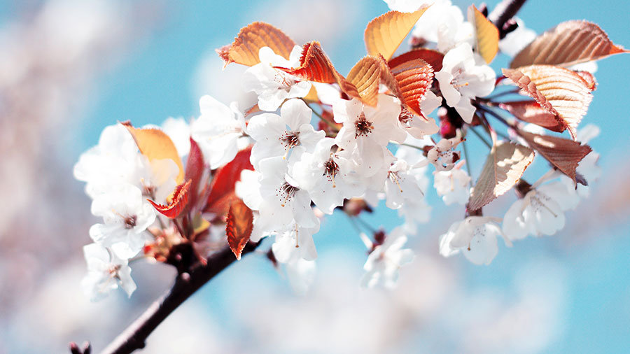 Kiraz Çiçeği Duvar Kağıdı Posteri | Çiçek Manzara Duvar Modelleri