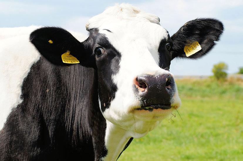 Sığır Severler İçin Duvar Kağıdı Modelleri   3 Boyutlu HD Hayvan Duvar Kağıdı