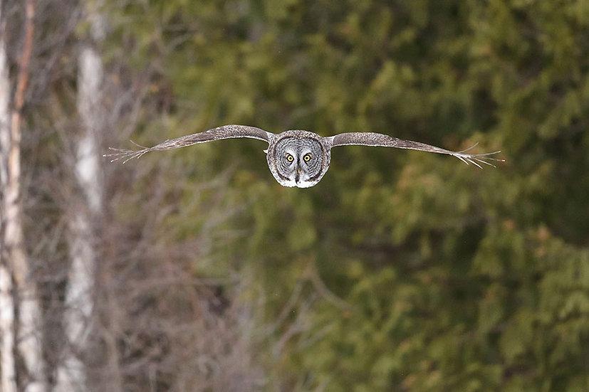 Uçan Baykuş Duvar Kağıtları | Kabartmalı Owl Hayvan Duvar Kağıtları