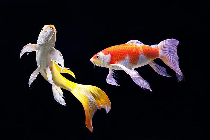 3 Boyutlu Duvar Kağıtları | 3D HD Besleyici Süs Balıkları Duvar Kağıtları