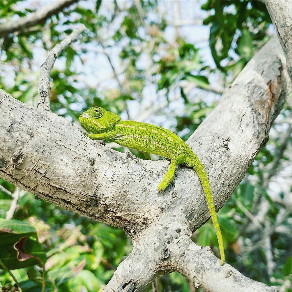 Resident chameleon