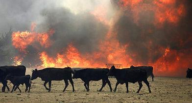 CowsFire.jpg