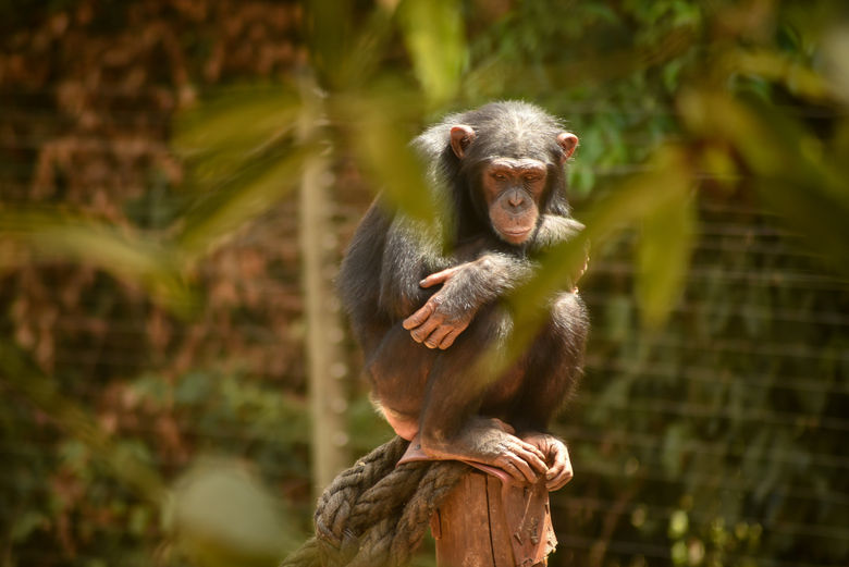 chimpy.jpg
