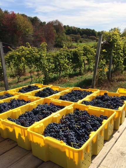 Grapes Harvested