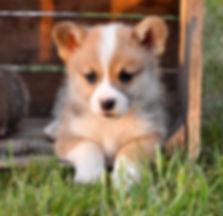 corgi puppies puppy michigan