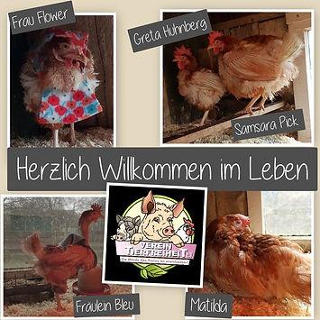 Collage neue Hühner.jpg