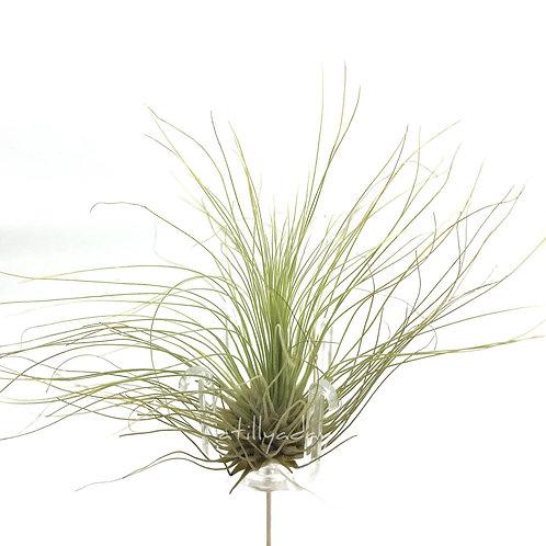 Fuschii v gracilis