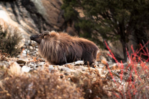 Himalayan Tahr-1.jpg