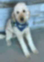 Charlie Trapp, Therapy Dog at Edmonton Meditation Studio