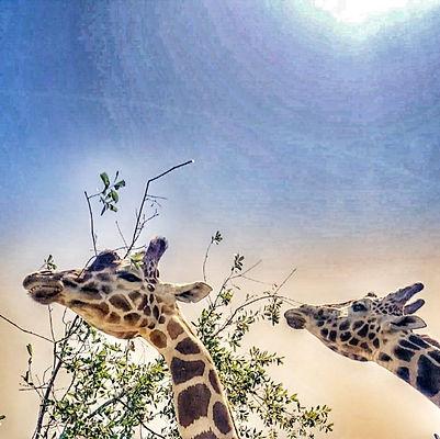 two giraffes.jpg
