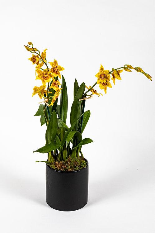 Yellow Hawaiian Orchid