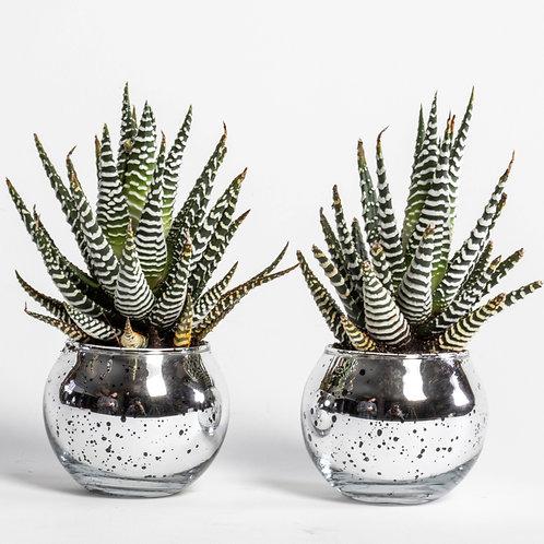 Haworthia Mini Succulent