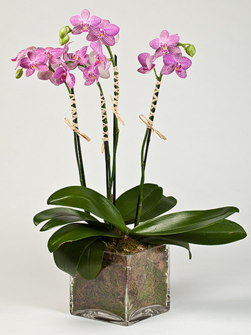 Pink-Purple Orchids
