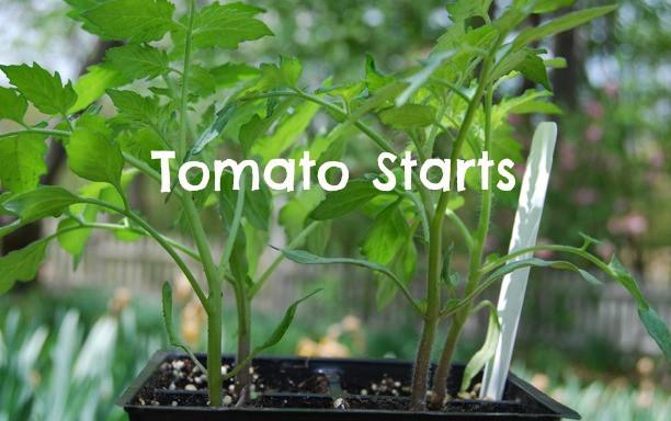 Tomato Starts: Determinate vs. Indeterminate