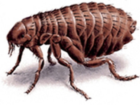 Repelling fleas with natural products.