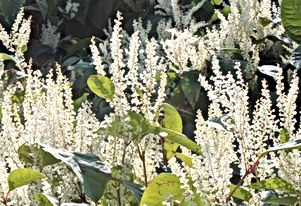 japanese knotweed 3.jpg